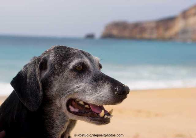 Alter Hund im Hochsommer