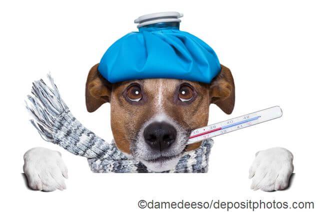 Hund erkältet