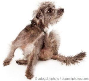 Haarausfall bei Hunden - Juckreiz