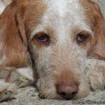 Tumor beim Hund, Krebs bei Hunden